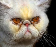 Коричневые корочки в глазах кота
